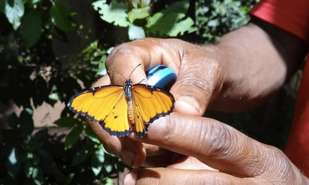 À Zanzibar, l'élevage de papillons peut sauver l'environnement !