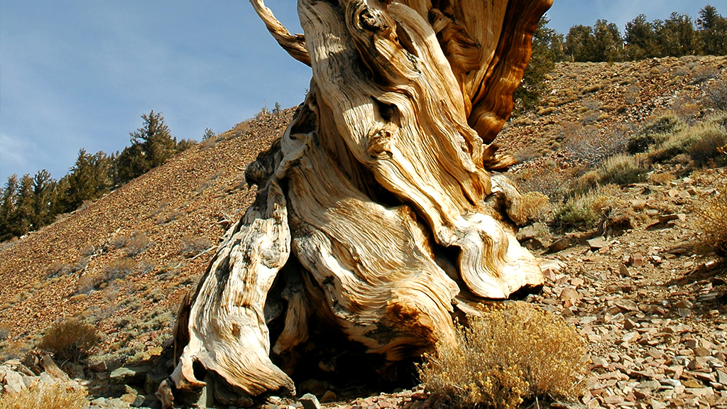 À la rencontre des plus vieux arbres du monde !