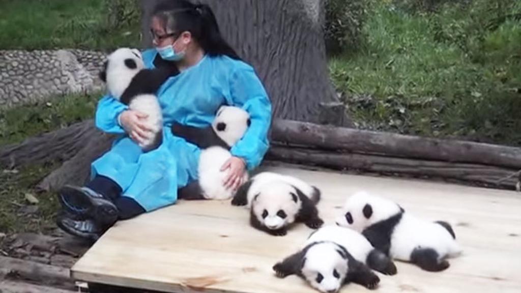 Meilleur job du monde : câliner des pandas pour 30.000$