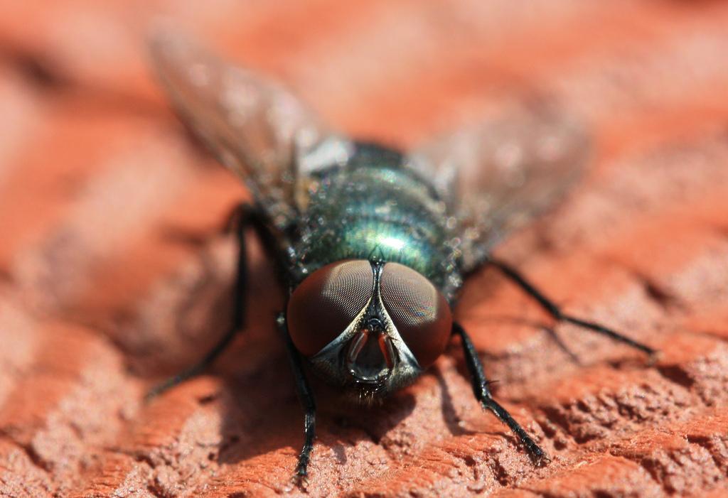 Des larves de mouches pour recycler nos déchets