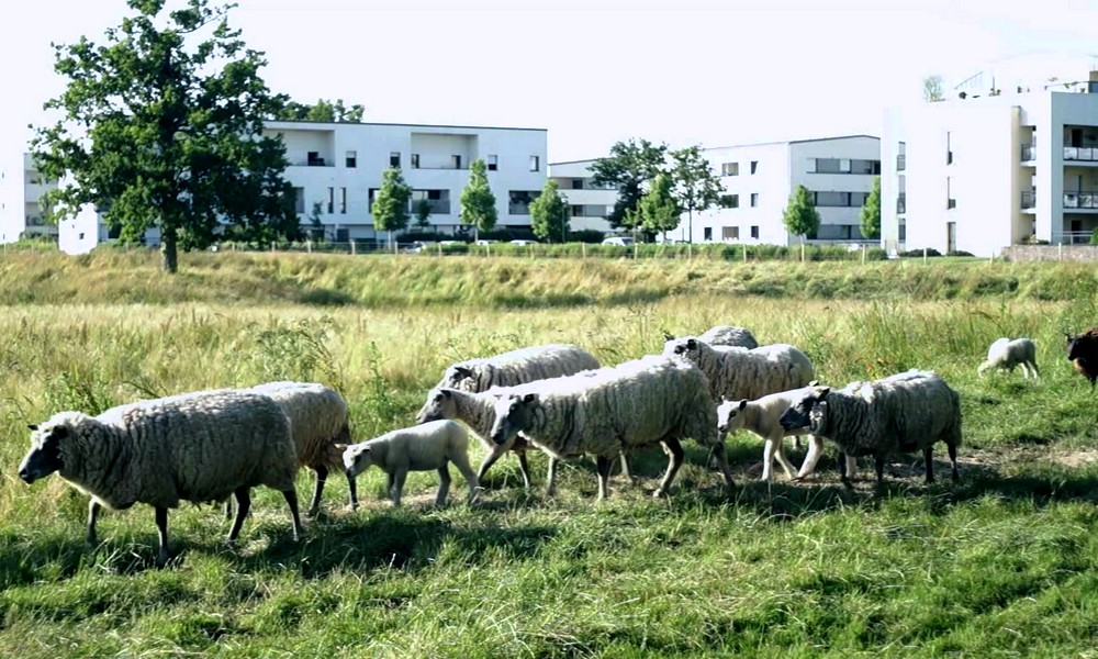 Faire tondre l'herbe par des moutons ? Une idée pas bêêête !