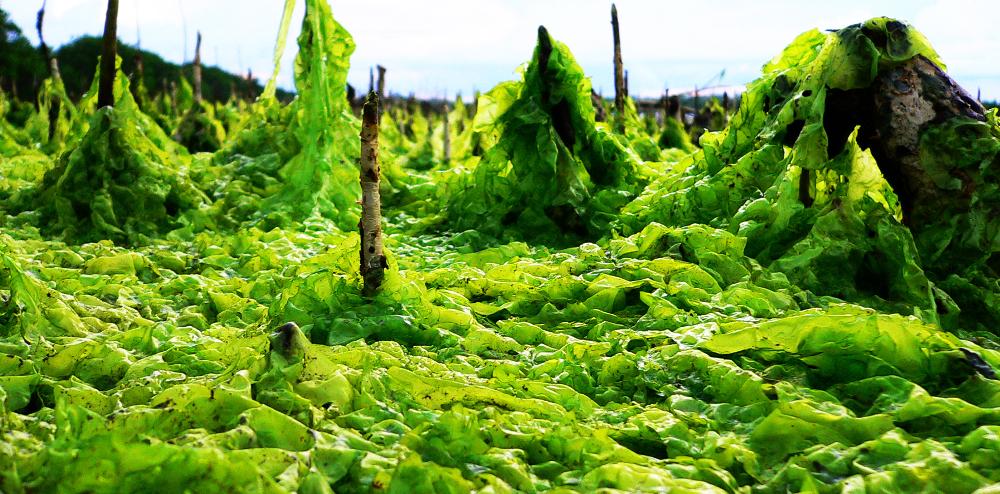 Pour sauver la planète, mettez des algues dans votre moteur !