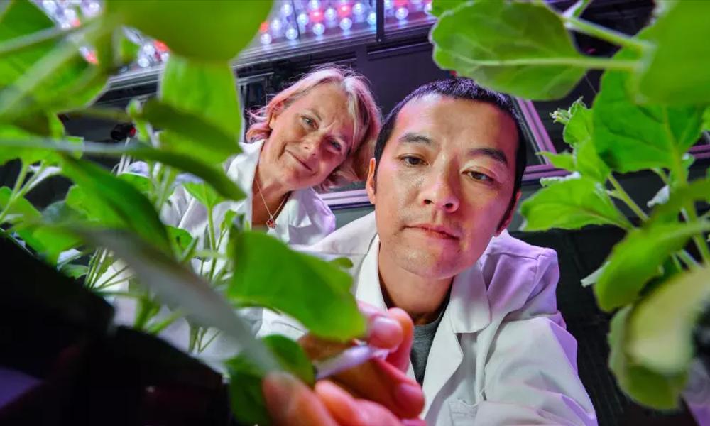Bon plant : ils inventent un tabac pour combattre le cancer et le SIDA