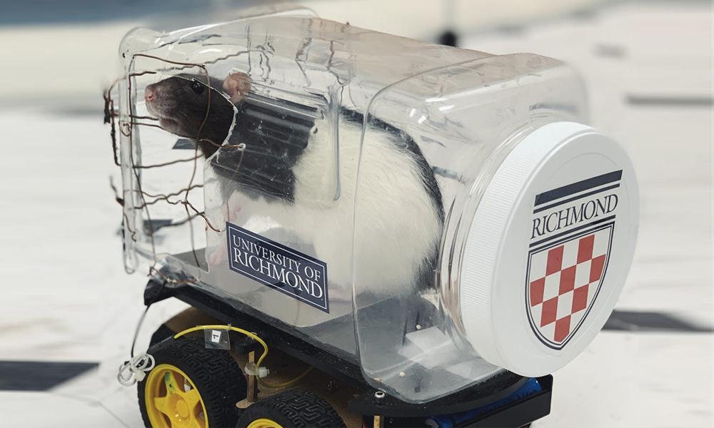 Des scientifiques ont appris à des rats à conduire des mini-voitures