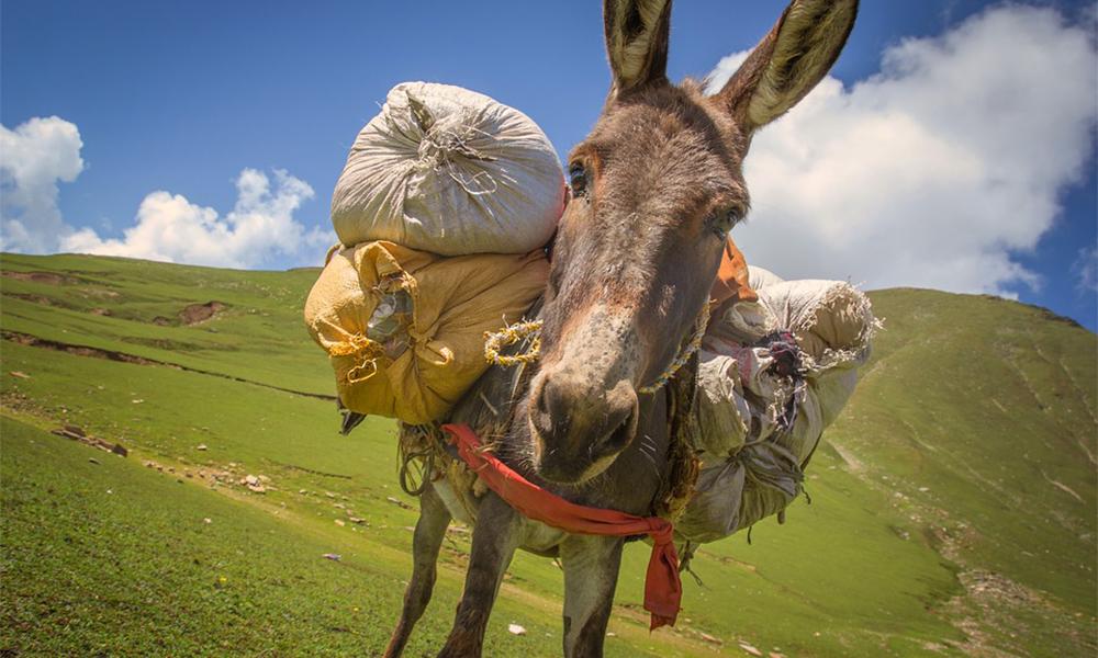 Pour voyager moins loin et moins vite, randonnez avec… un âne